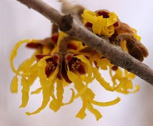 floare_witchhazel